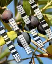 designing-better-olive-oil-through-genetic-mapping