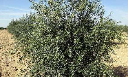 olive-farming-blooms-in-indias-desert-state