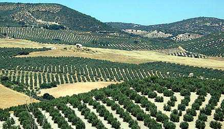 andalusian-olive-oil-producers-facing-fourth-straight-year-of-losses