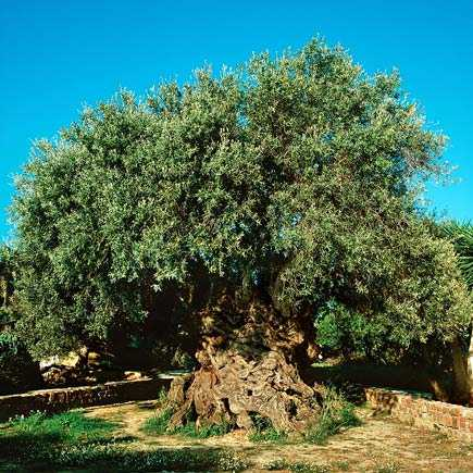 epic-olive-trees