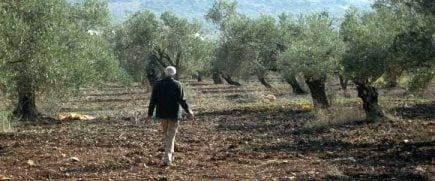 usitc-stalking-the-olive-groves
