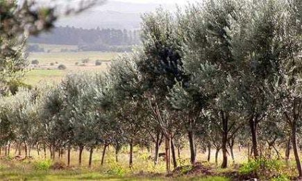 quality-is-key-for-uruguays-growing-olive-oil-sector