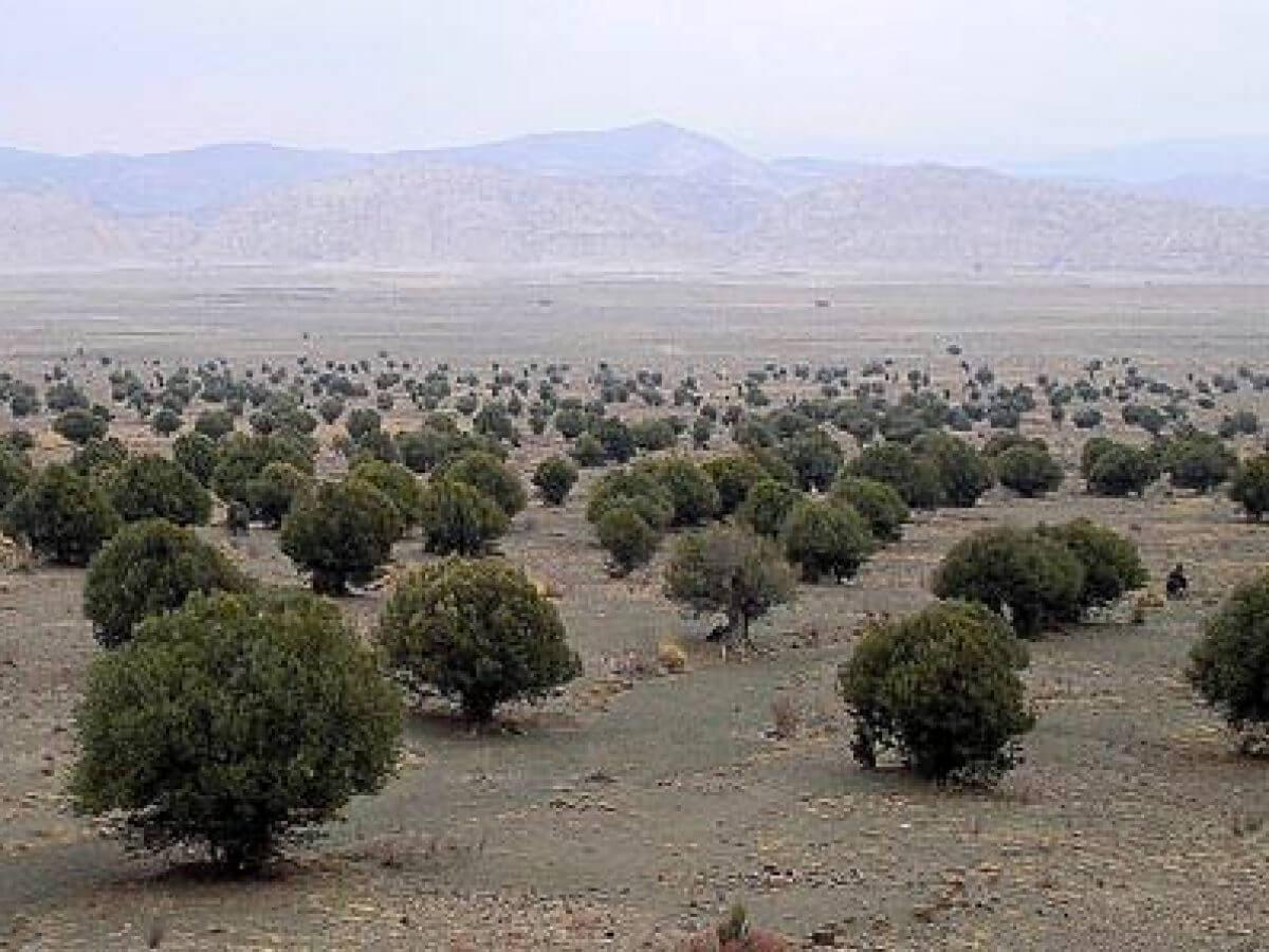 Pakistan To Plant 4 Million Olive Trees