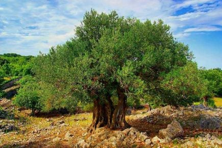 origins-of-domesticated-olive-tree-revealed