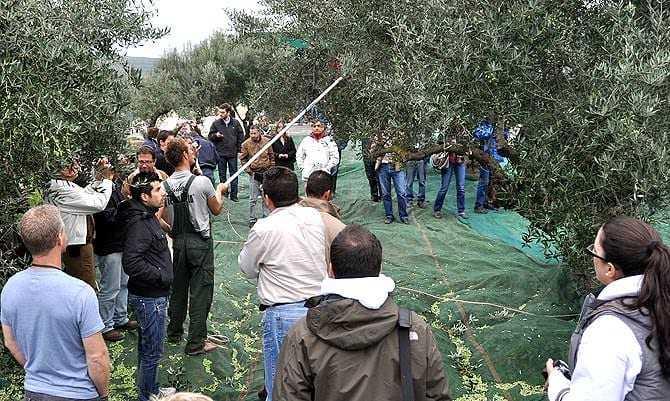 instituto de pesquisa-em-chania-surge-como-grego-oliva-setor-líder-azeite-de-oliva-vezes-o-instituto-de-oliveira-e-plantas subtropicais-em-chania