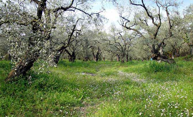 greek-olive-oil-production-down-fifty-percent-olive-oil-times-greek-olive-oil-production-down-fifty-percent-