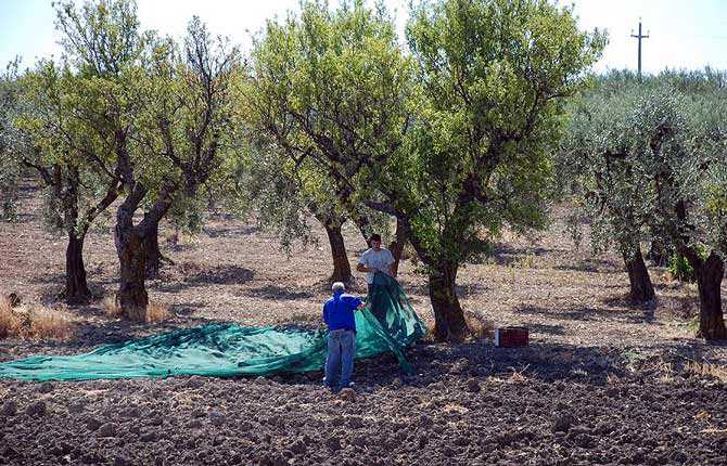 europa-perplesso-by-olive-tree-epidemia-olio d'oliva-volte-europa-perplessi-by-ulivo-epidemia