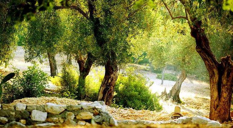 new-strain-of-plant-germ-killing-ancient-olive-trees-in-italy
