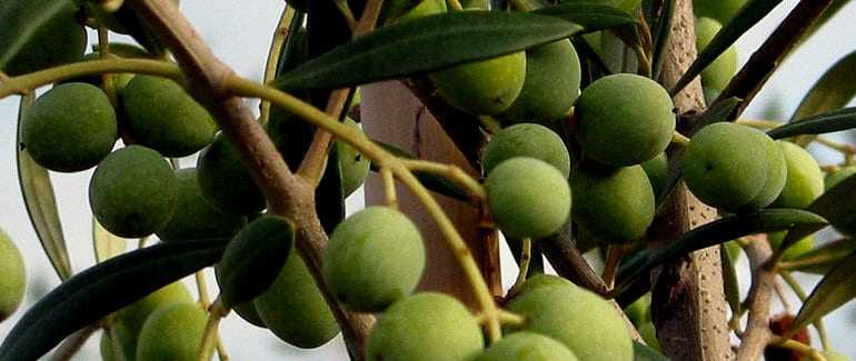 groups-work-to-improve-viability-of-table-olives-in-andalusia