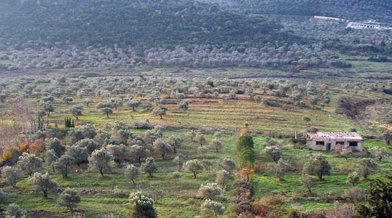 with-little-choice-syrians-look-to-ancient-olive-groves-for-firewood