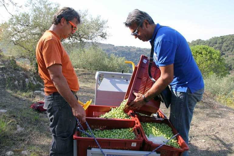 a-merry-tonda-iblea-harvest-in-sicily