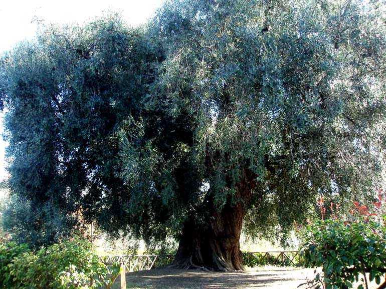 Ένα δέντρο του λόφου που χρονολογείται