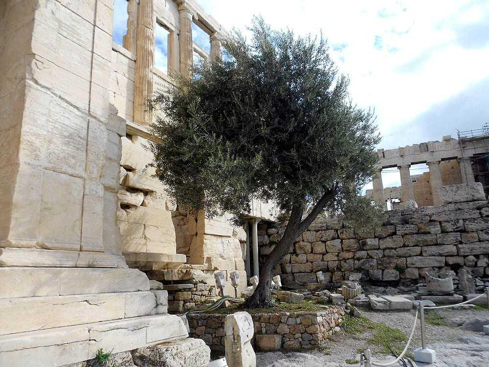 Sacred Olives Athenas Tree On The Acropolis