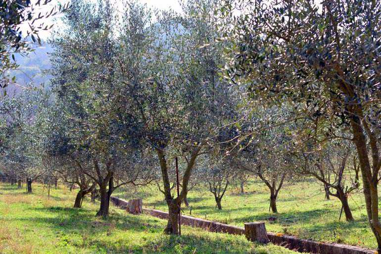 an-olive-oil-from-japan-wins-top-award