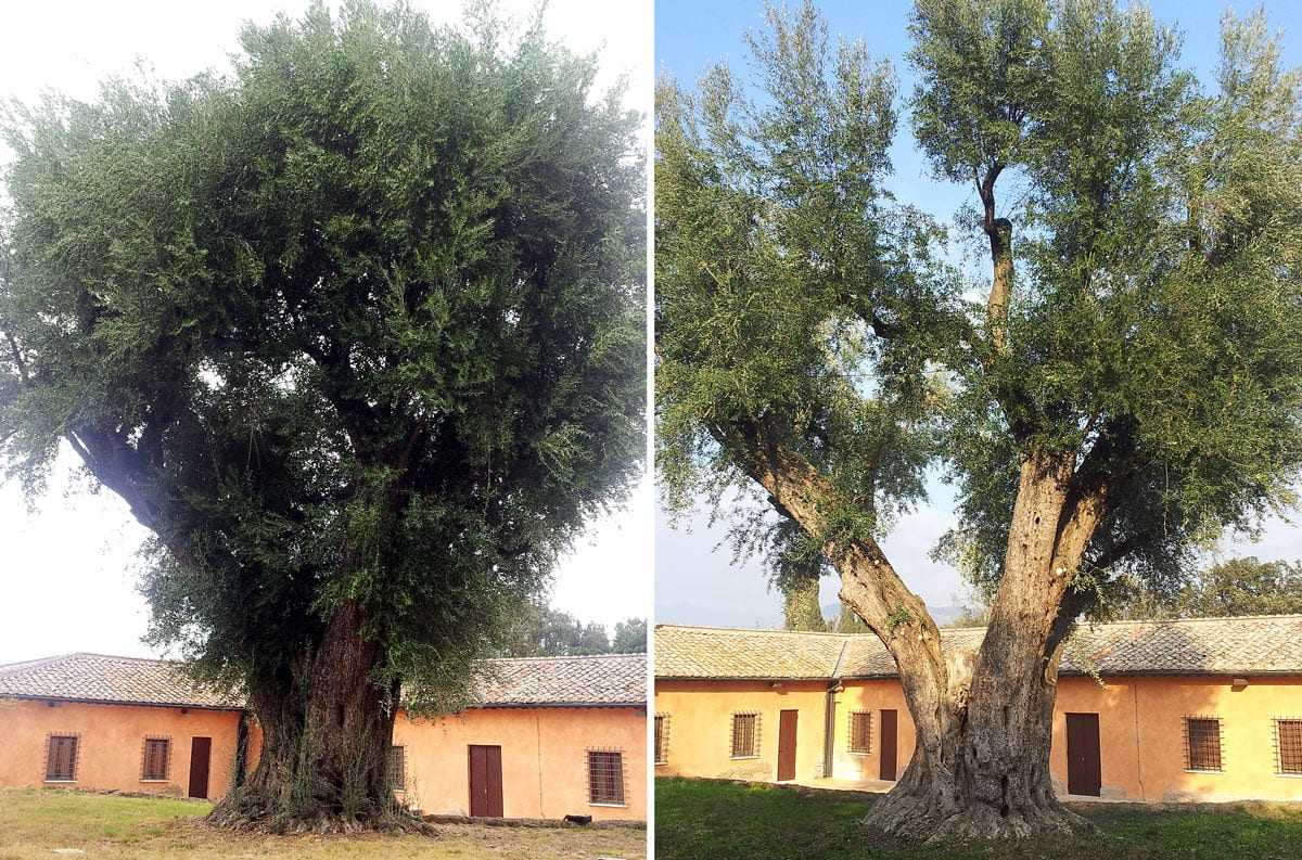 on-the-preservation-and-maintenance-of-monumental-olive-trees