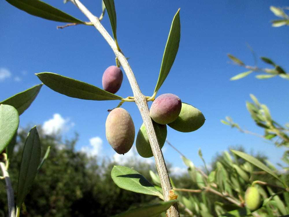 greek-farmers-expect-lower-yields-as-harvest-nears