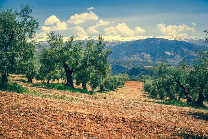 olive-oil-tours-go-from-farm-to-bottle