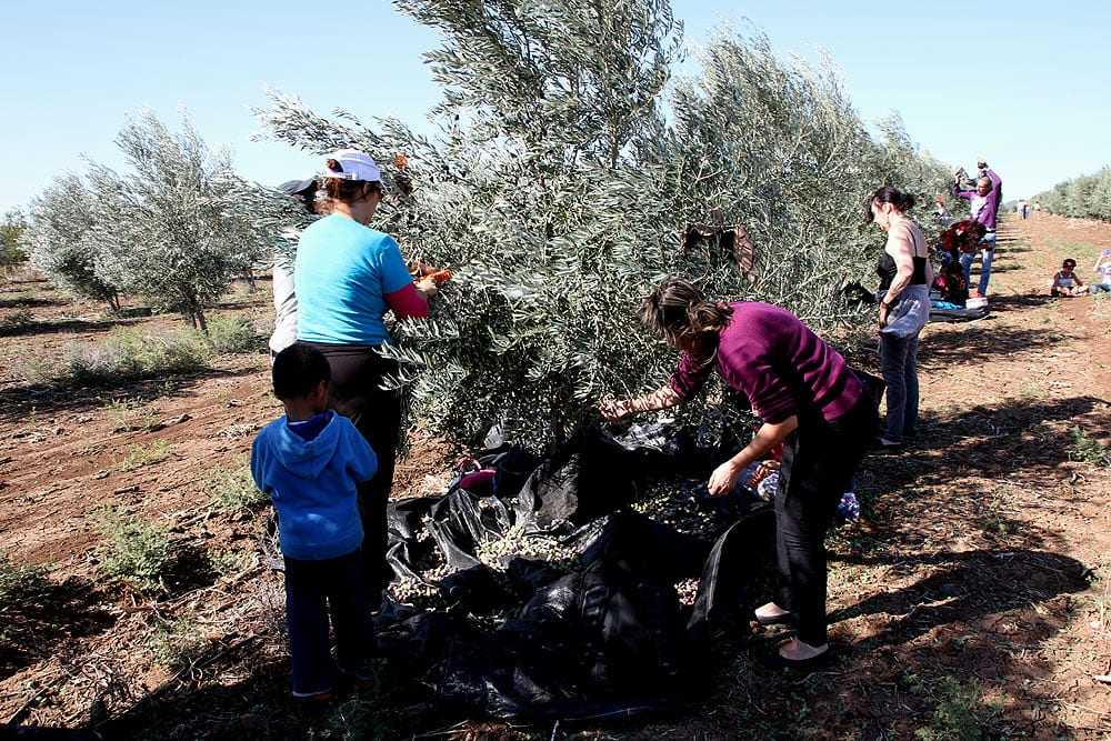 a-harvest-for-peace-in-israel