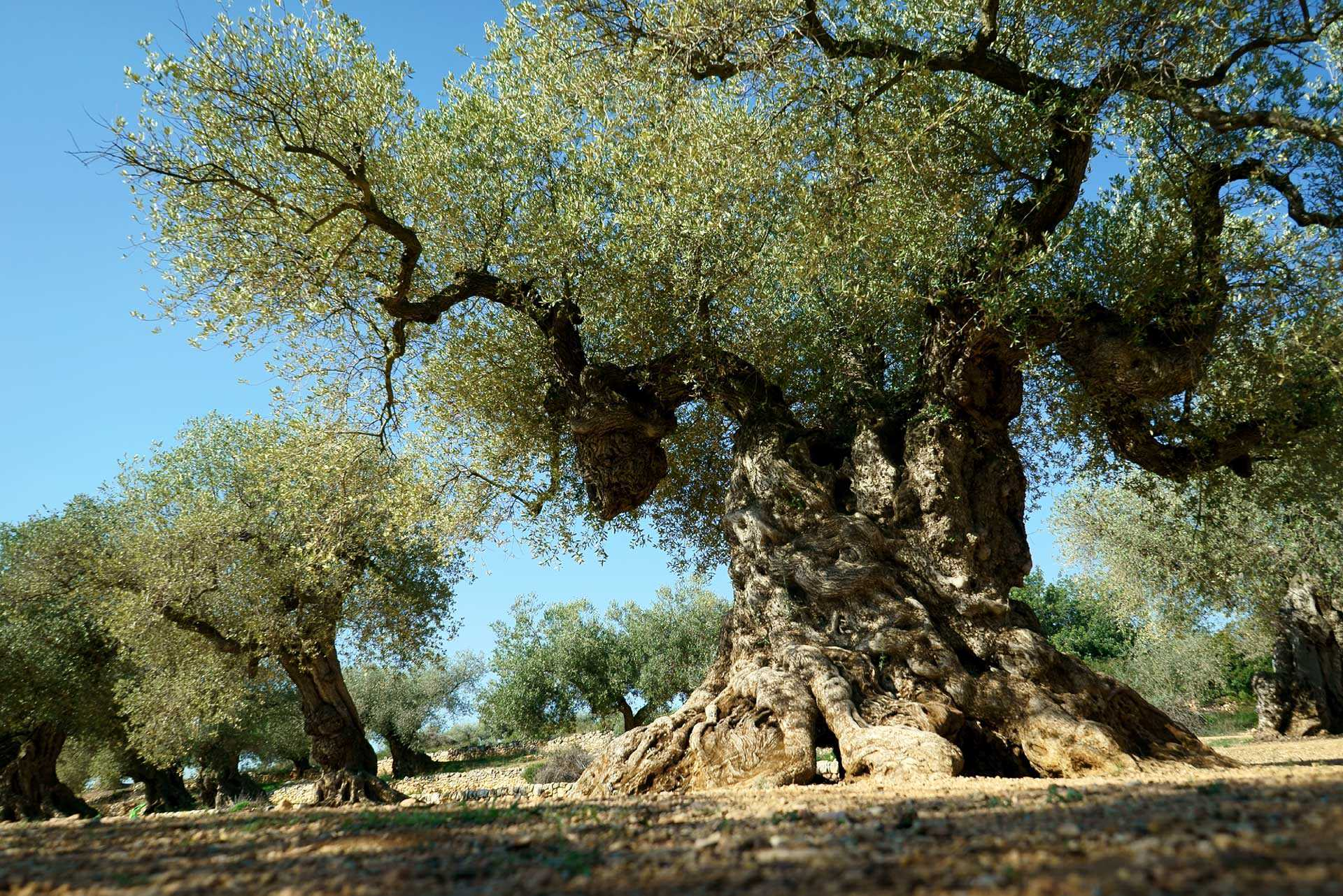 giving-new-life-to-ancient-olive-trees-in-spain