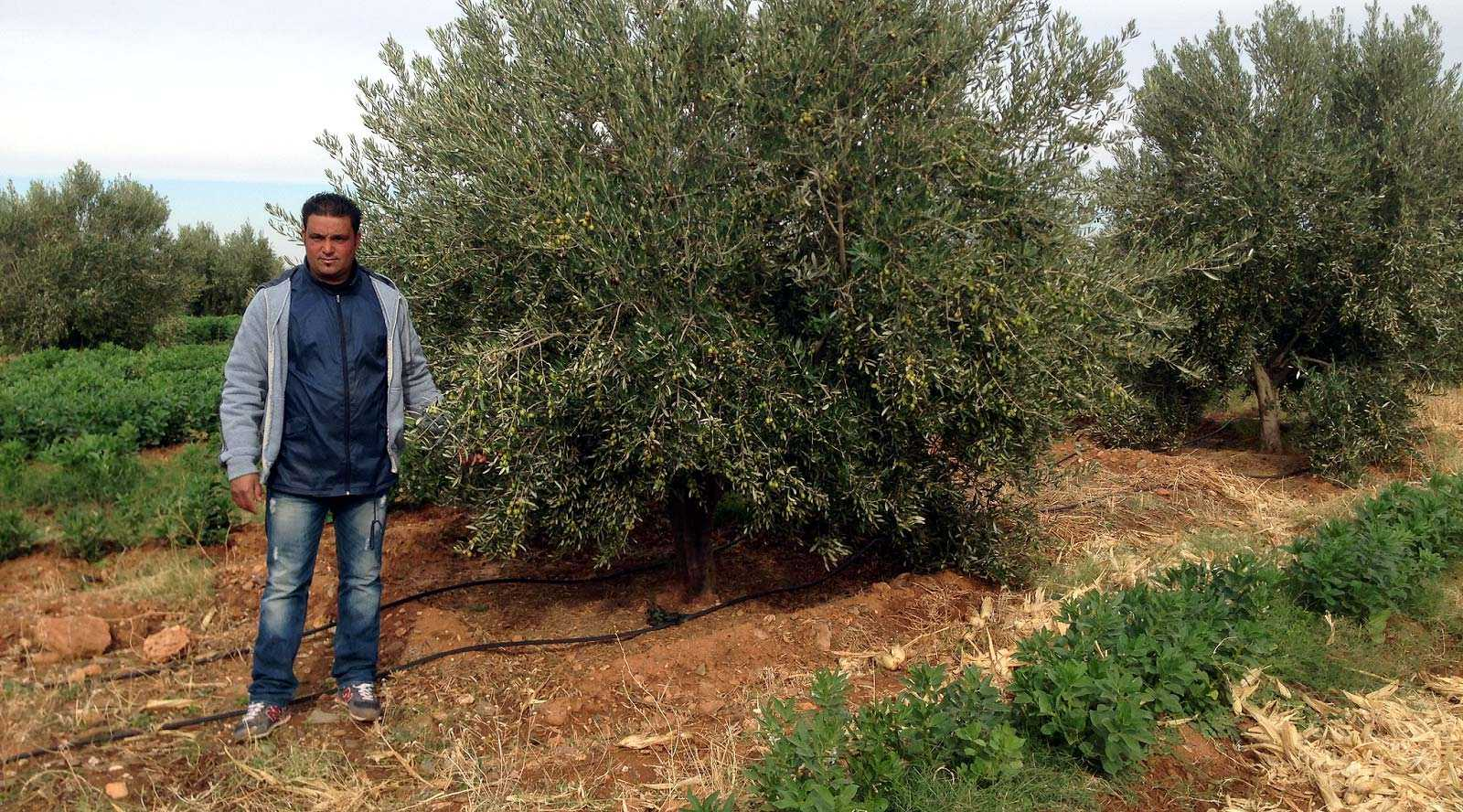 moroccan-farmers-combat-climate-change-with-olive-trees-and-innovation
