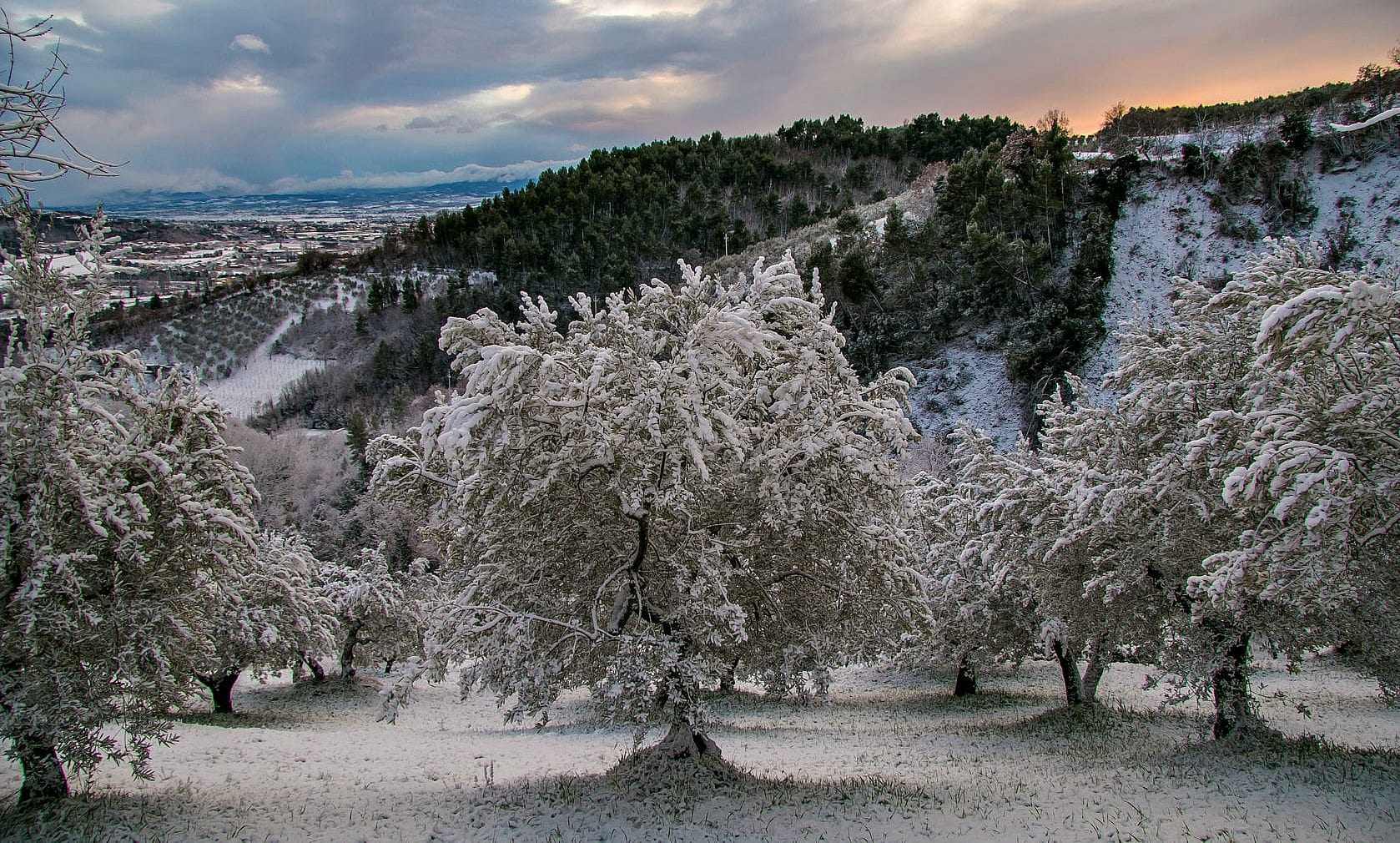 How Cold Temperatures Can Help Olive Production
