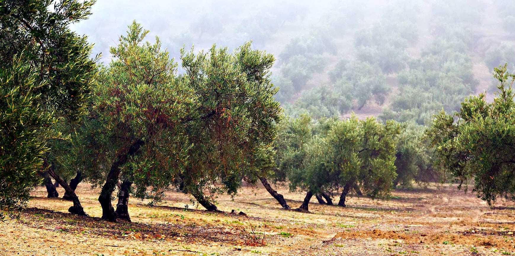 Sharing in the Harvest: Olive Oil CSAs and Tree Adoption Programs