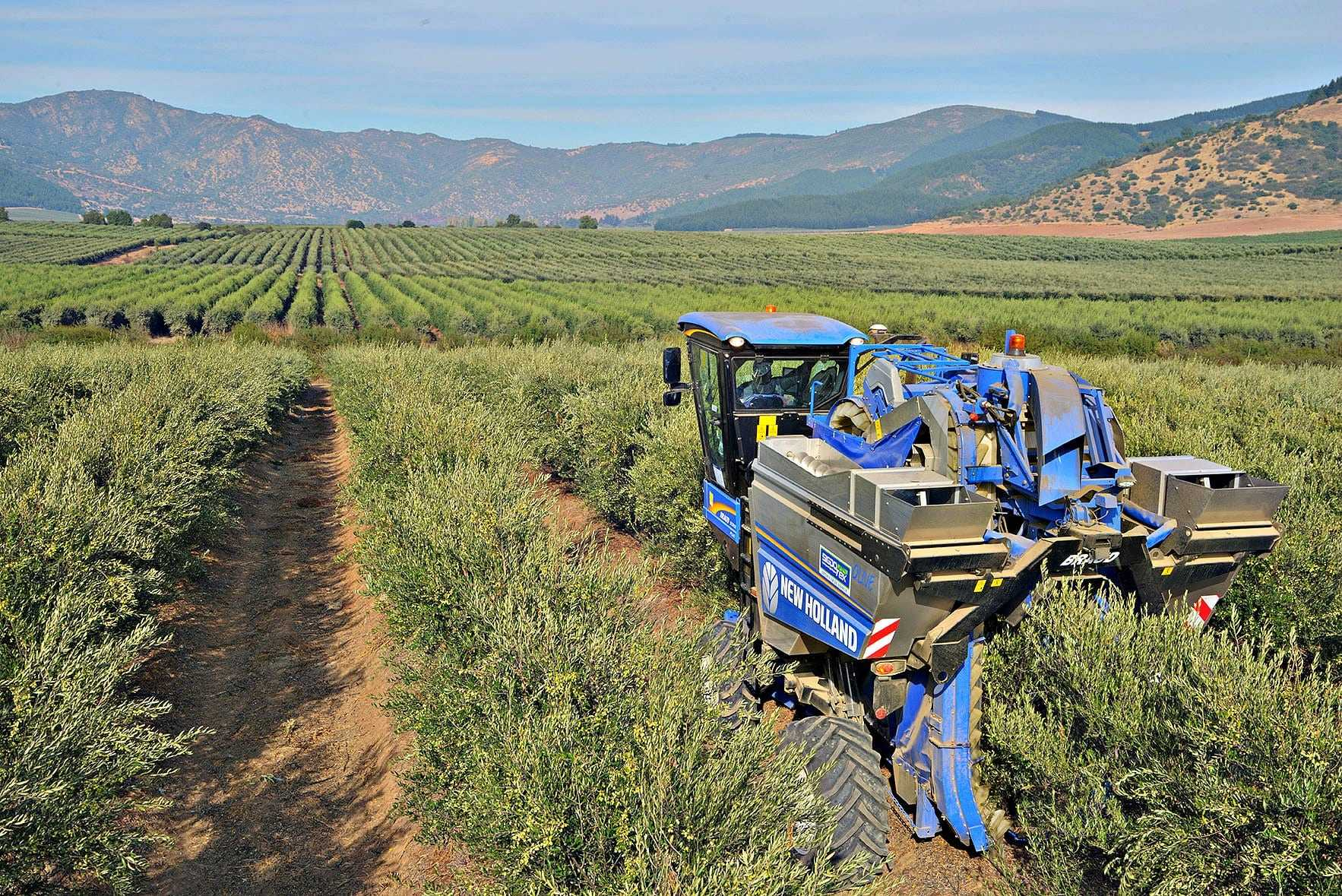 building-chilean-identity-through-evoo