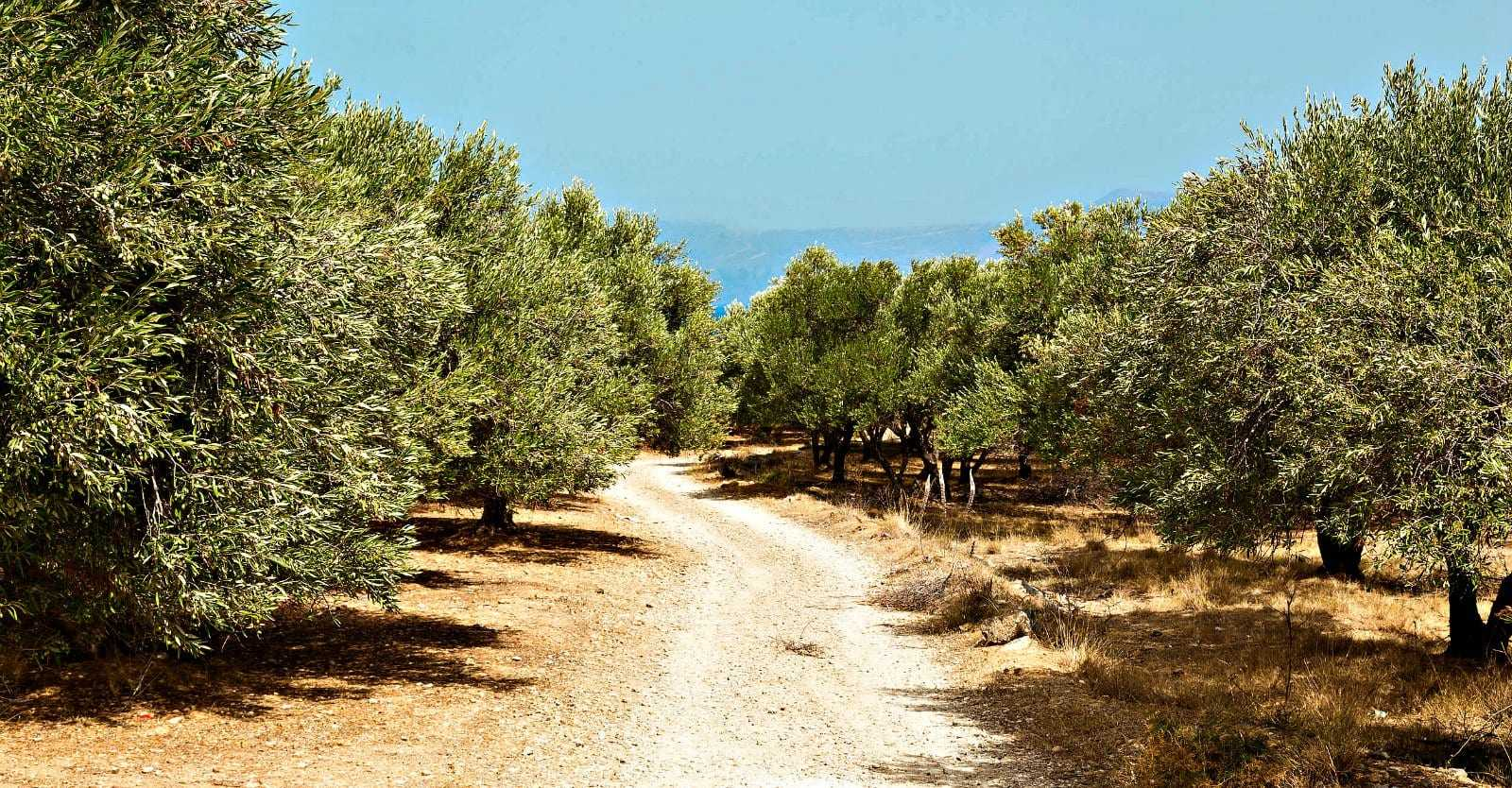 route-to-sustainable-tourism-in-greece-lined-with-olive-oil