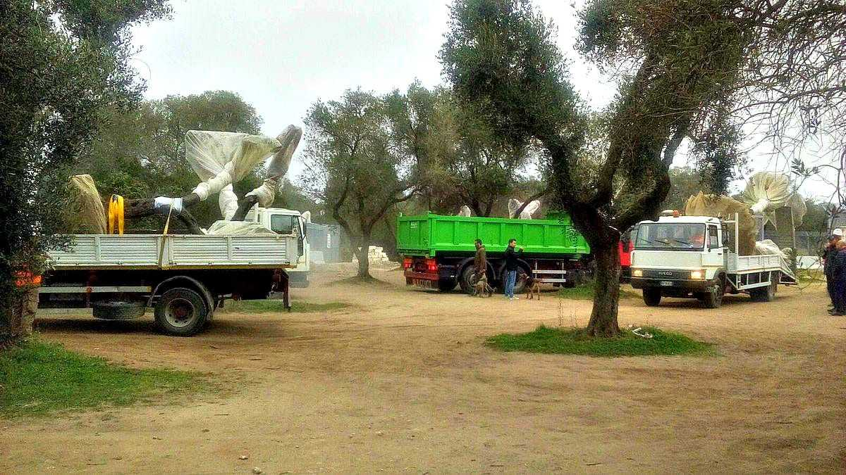 removal-of-olive-trees-for-pipeline-to-resume