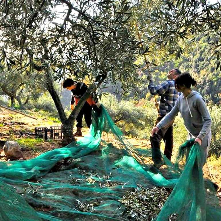 nonprofit-sees-olive-oil-culture-as-a-way-to-help-troubled-youths