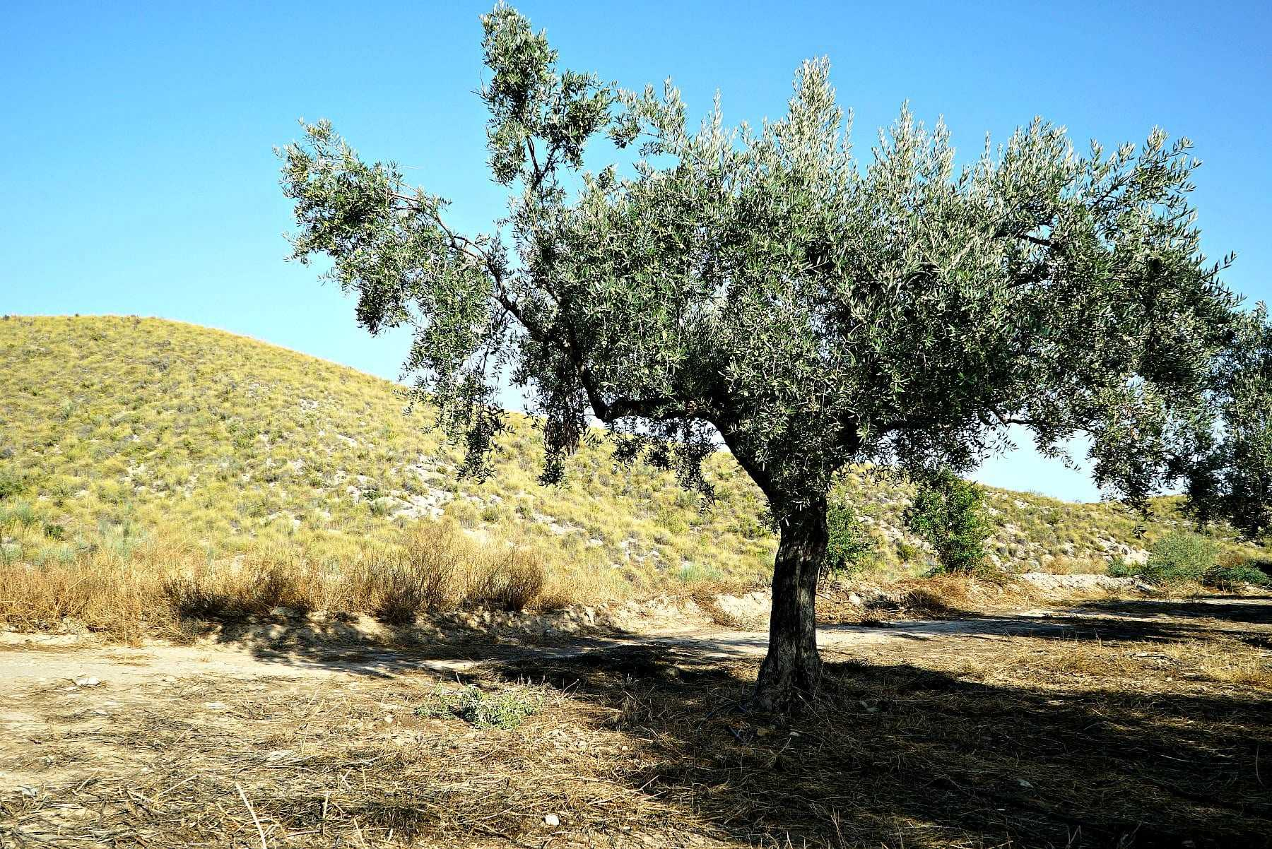 an-oasis-of-awardwinning-evoo-in-tabernas