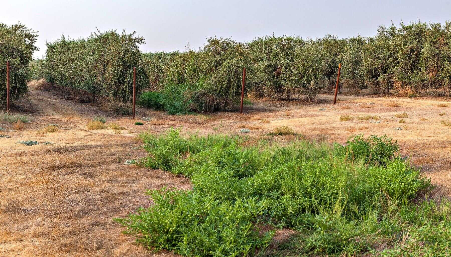 california-olive-ranch-pursues-regenerative-agriculture