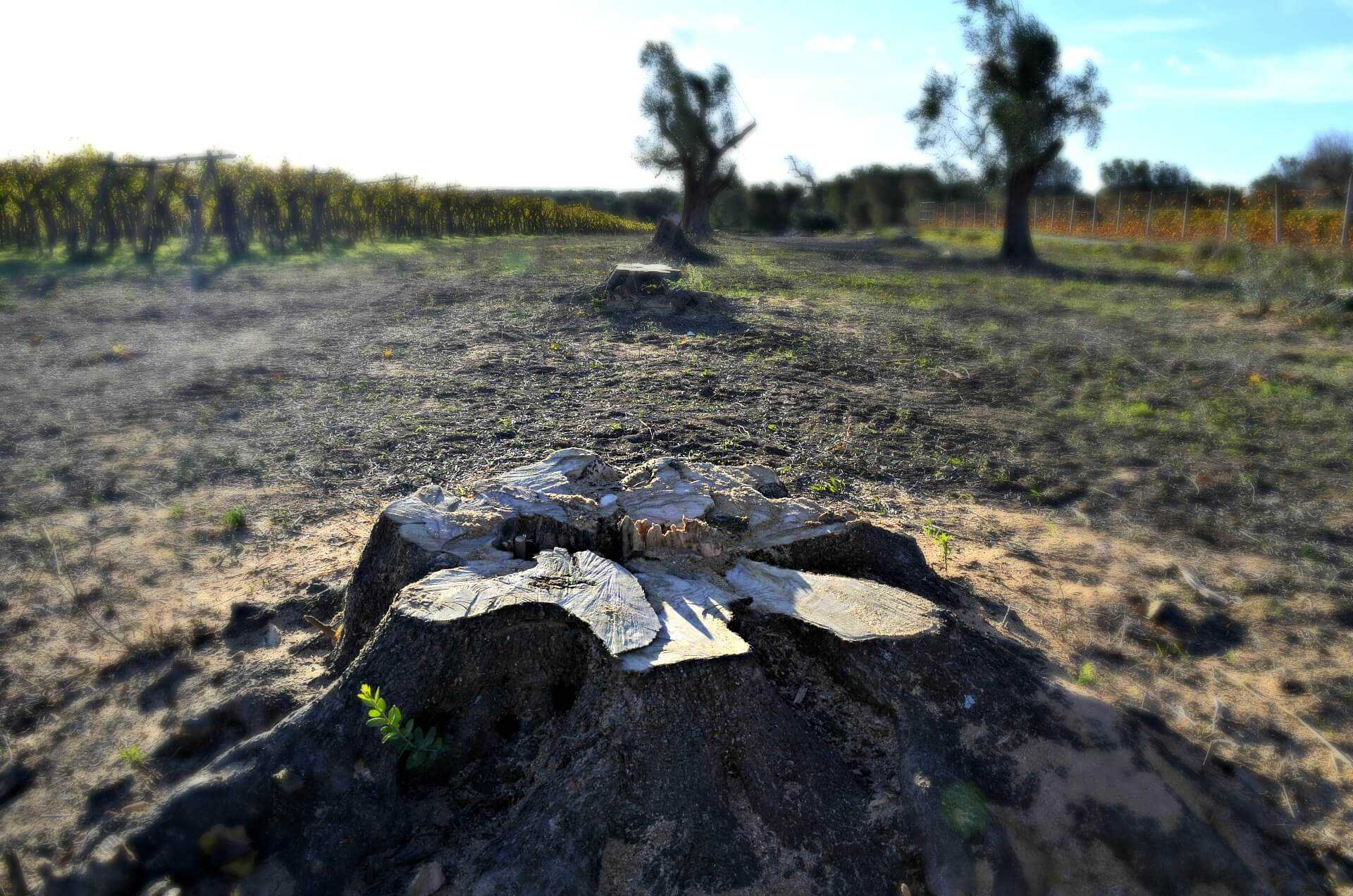 where-the-olive-trees-are-dying-a-frontline-report-on-xylella