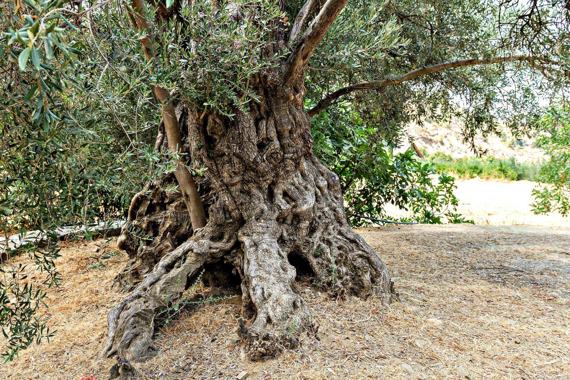monumental-trees-of-cyprus--represent-attempt-to-create-elite-cultivar
