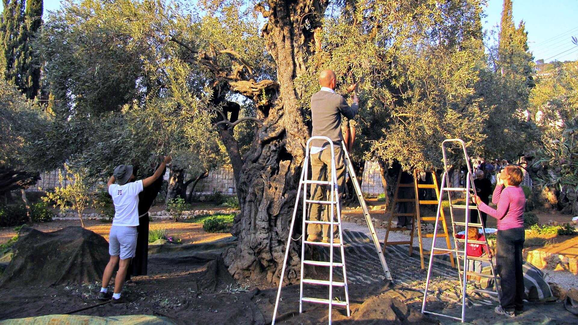 the-gethsemane-and-its-sacred-olive-oil