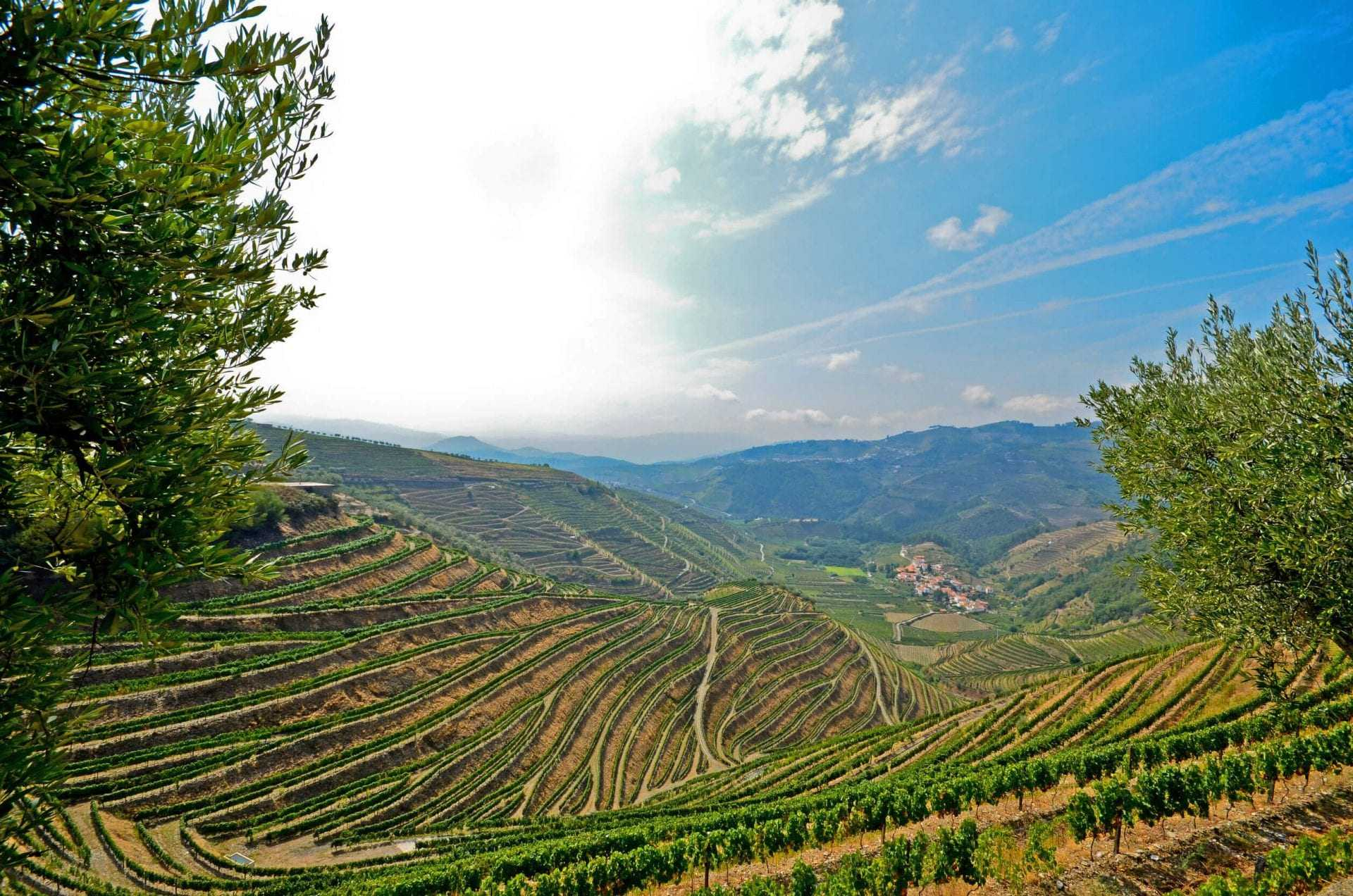 olive-oil-increasingly-popular-among-douro-wineries