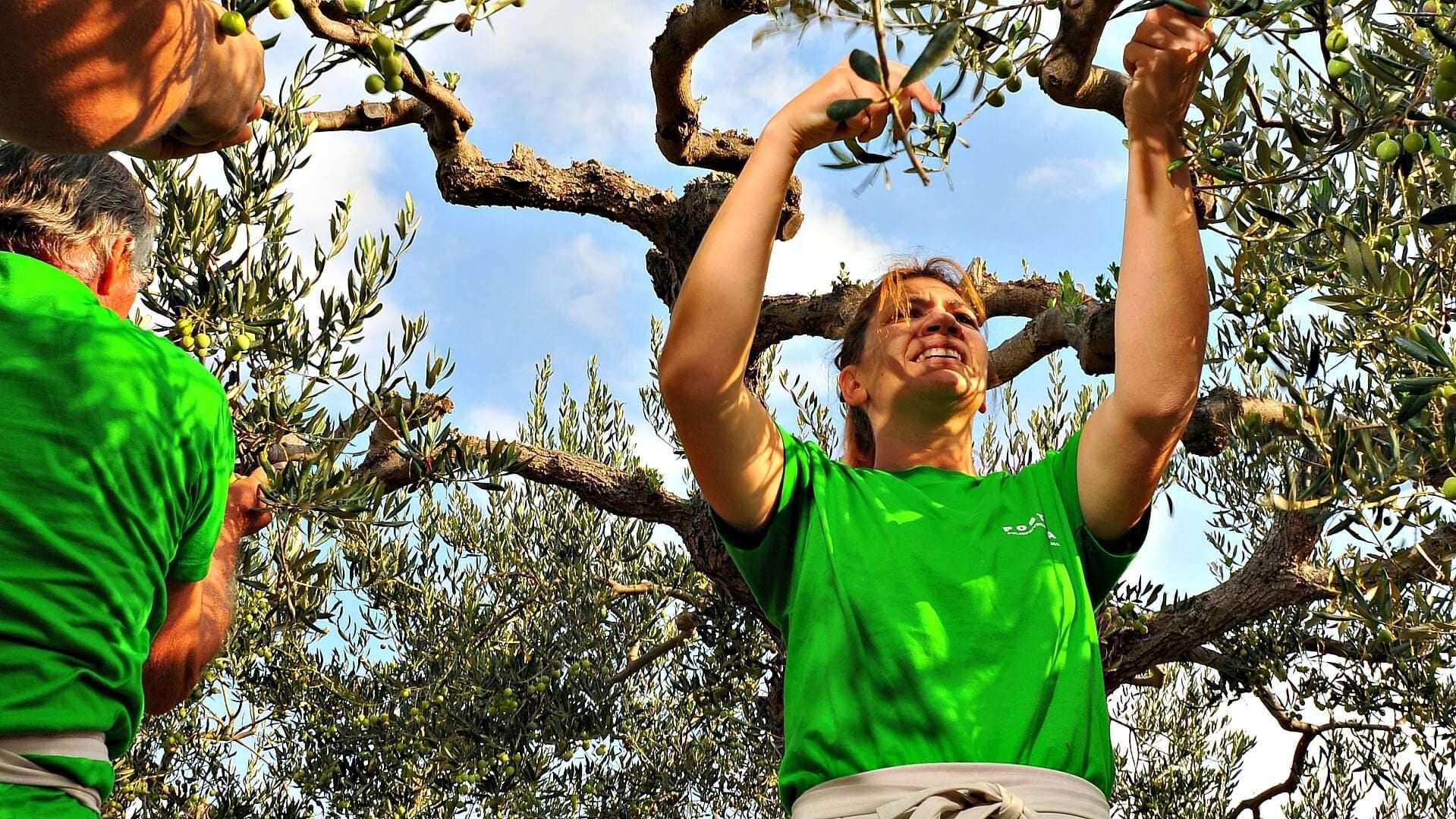 2nd-olive-picking-championship-set-for-october