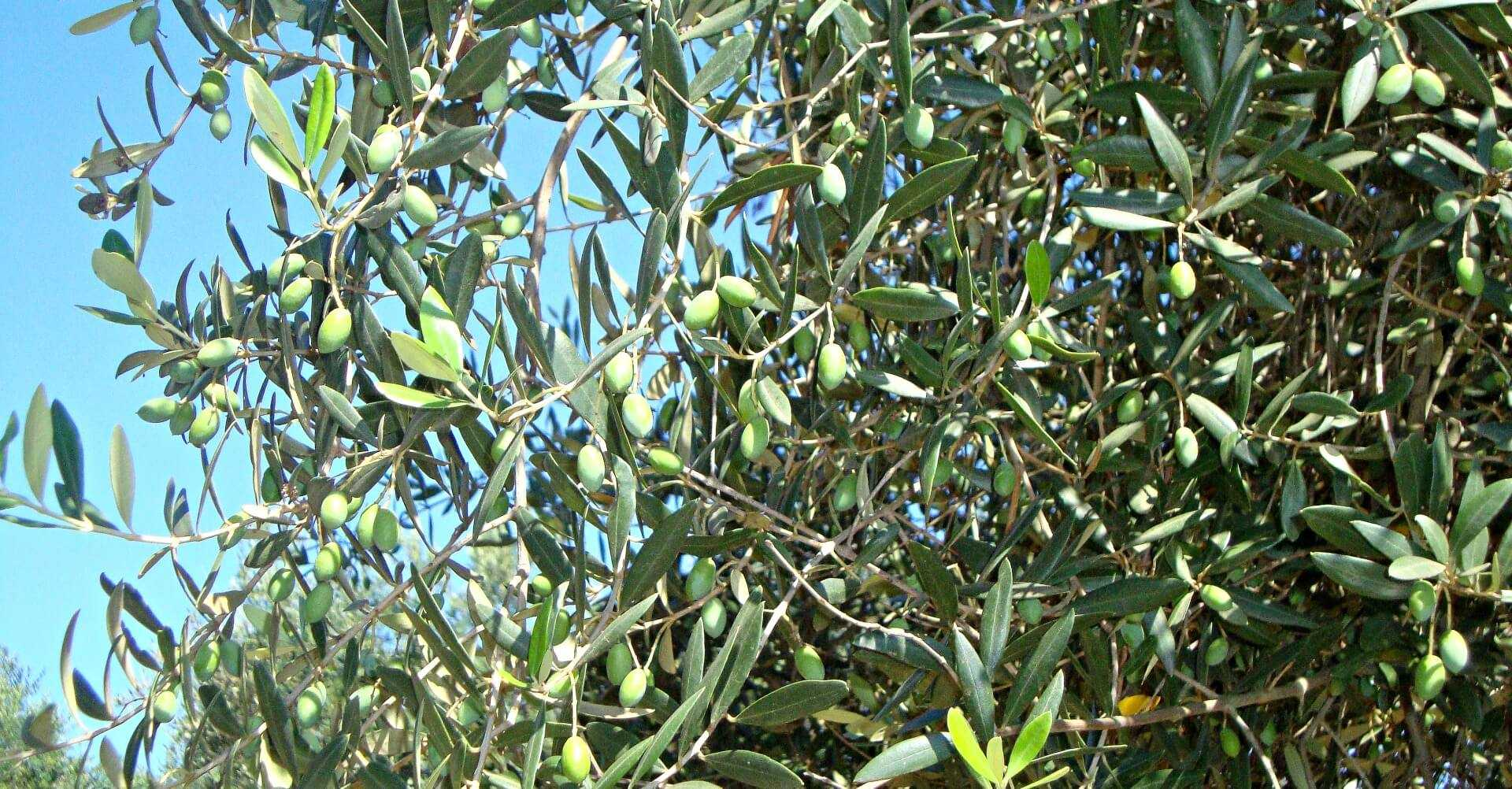 organic-treatment-shows-promise-against-xylella