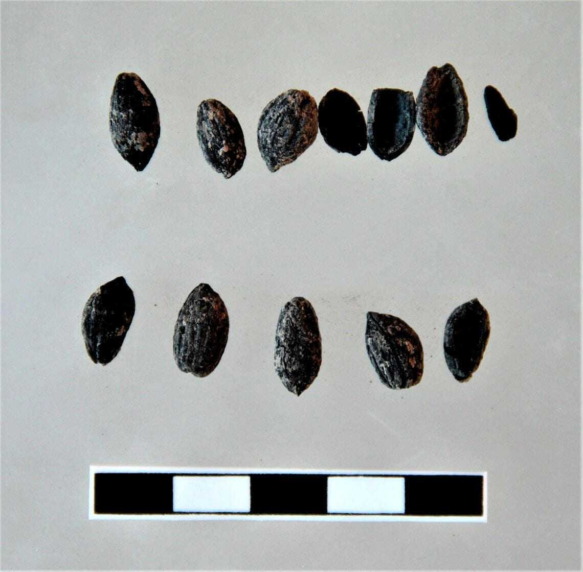 millenary-olive-seeds-found-in-important-archeological-site-in-turkey