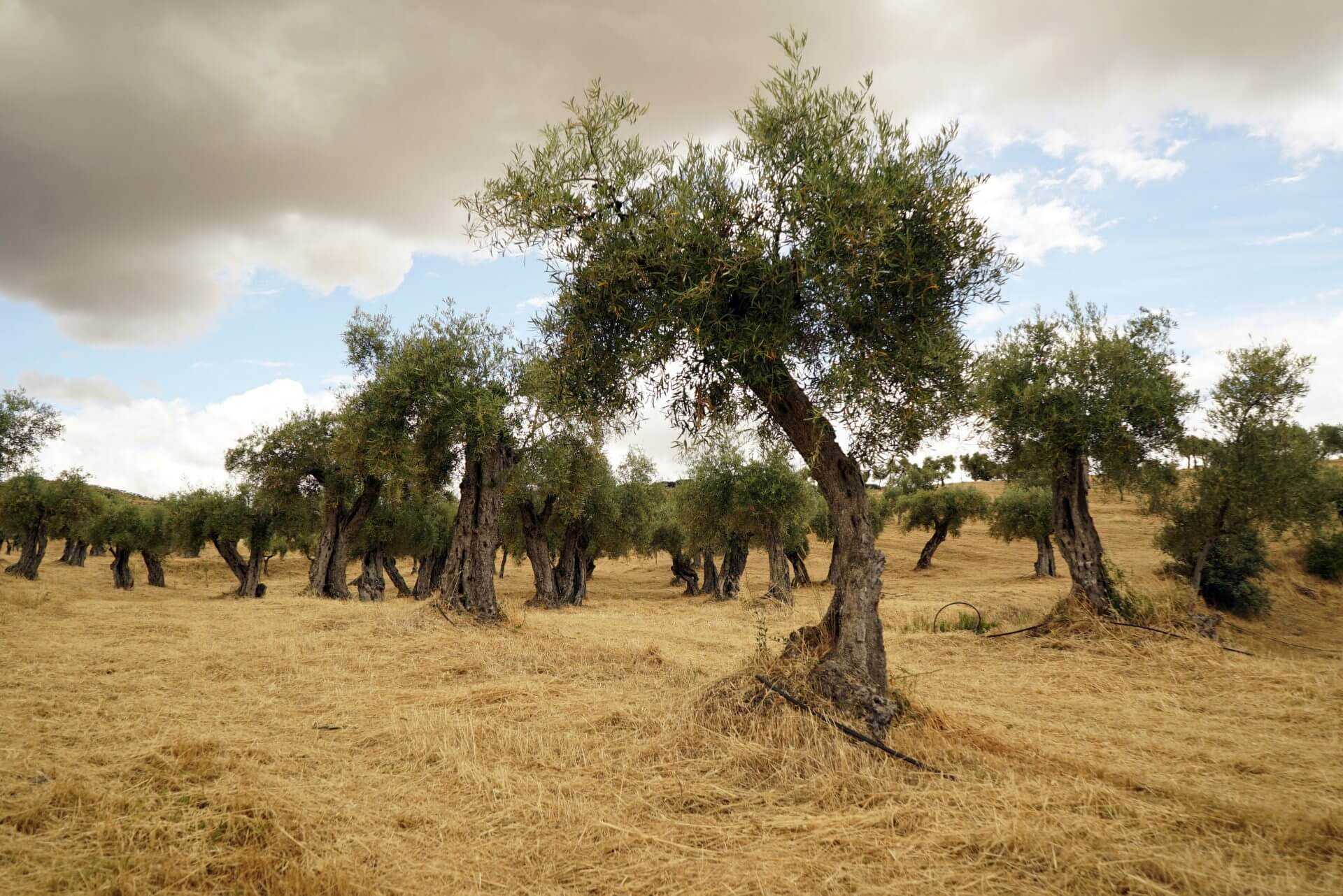 Finding Balance Among the Olives