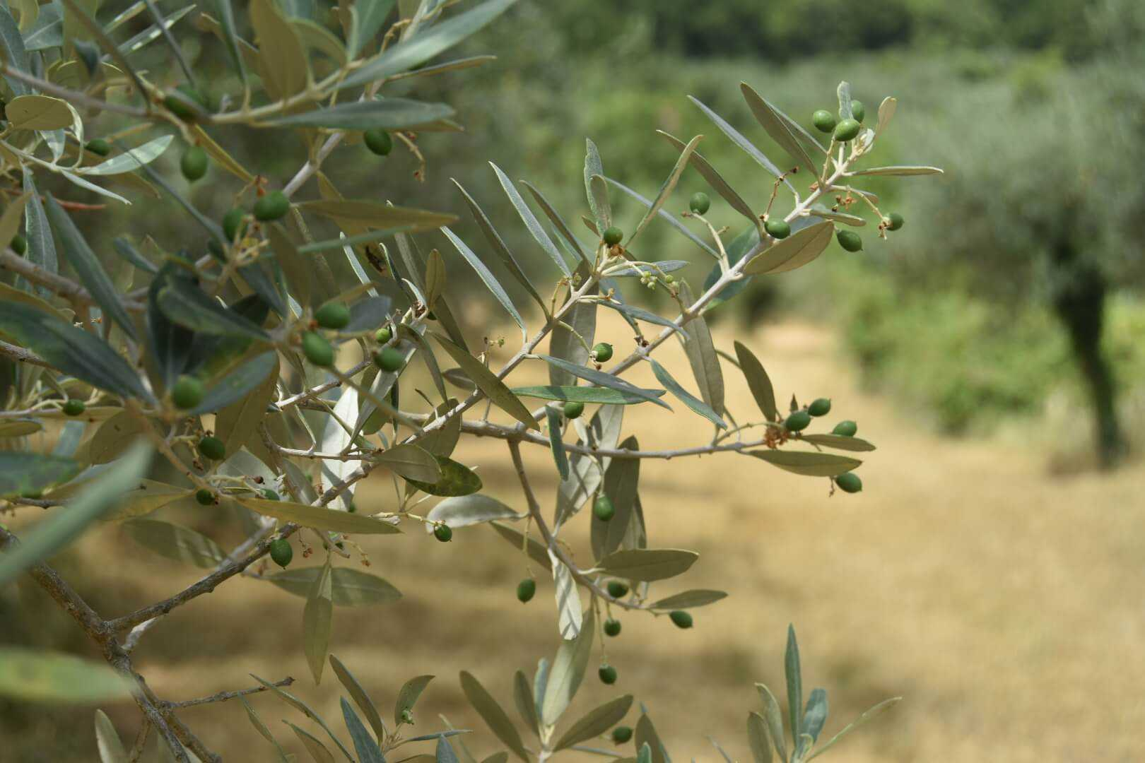 experts-offer-tips-on-preparing-for-the-warm-season-in-organic-olive-groves