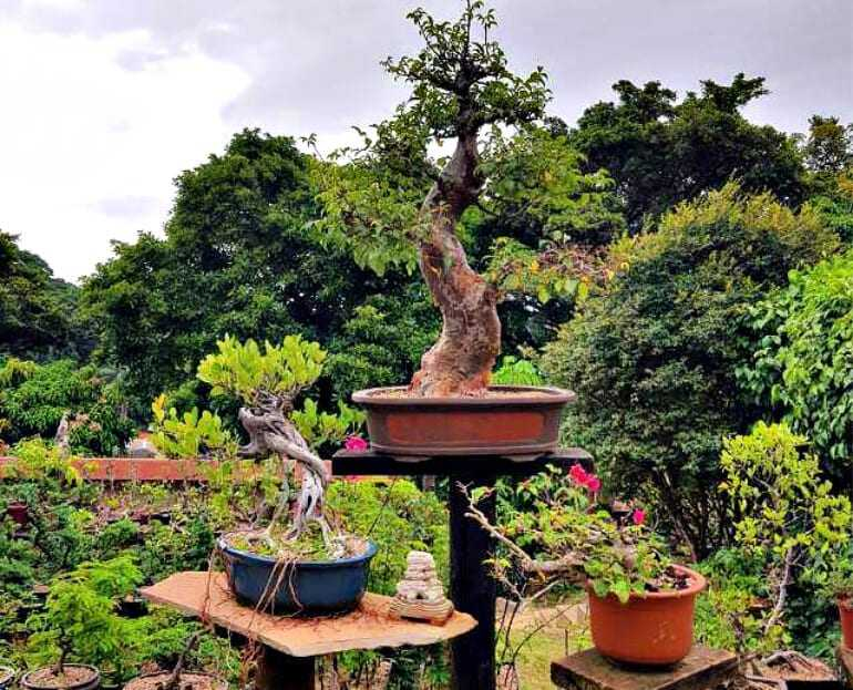 bonsai-masters-the-art-of-olive-bonsai