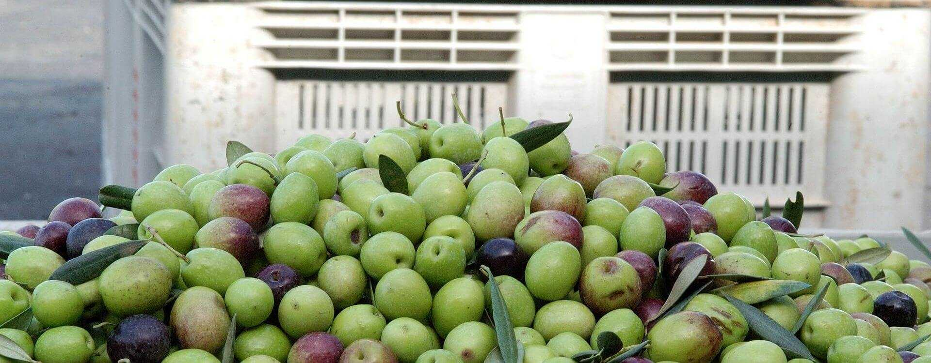 Table Olive Yield Predictions in Spain Move...