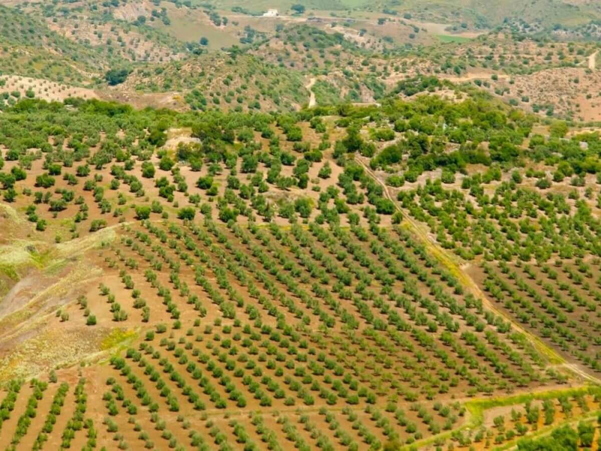 Il Cultive L Olivier les oliveraies commerciales du monde rétrécissent