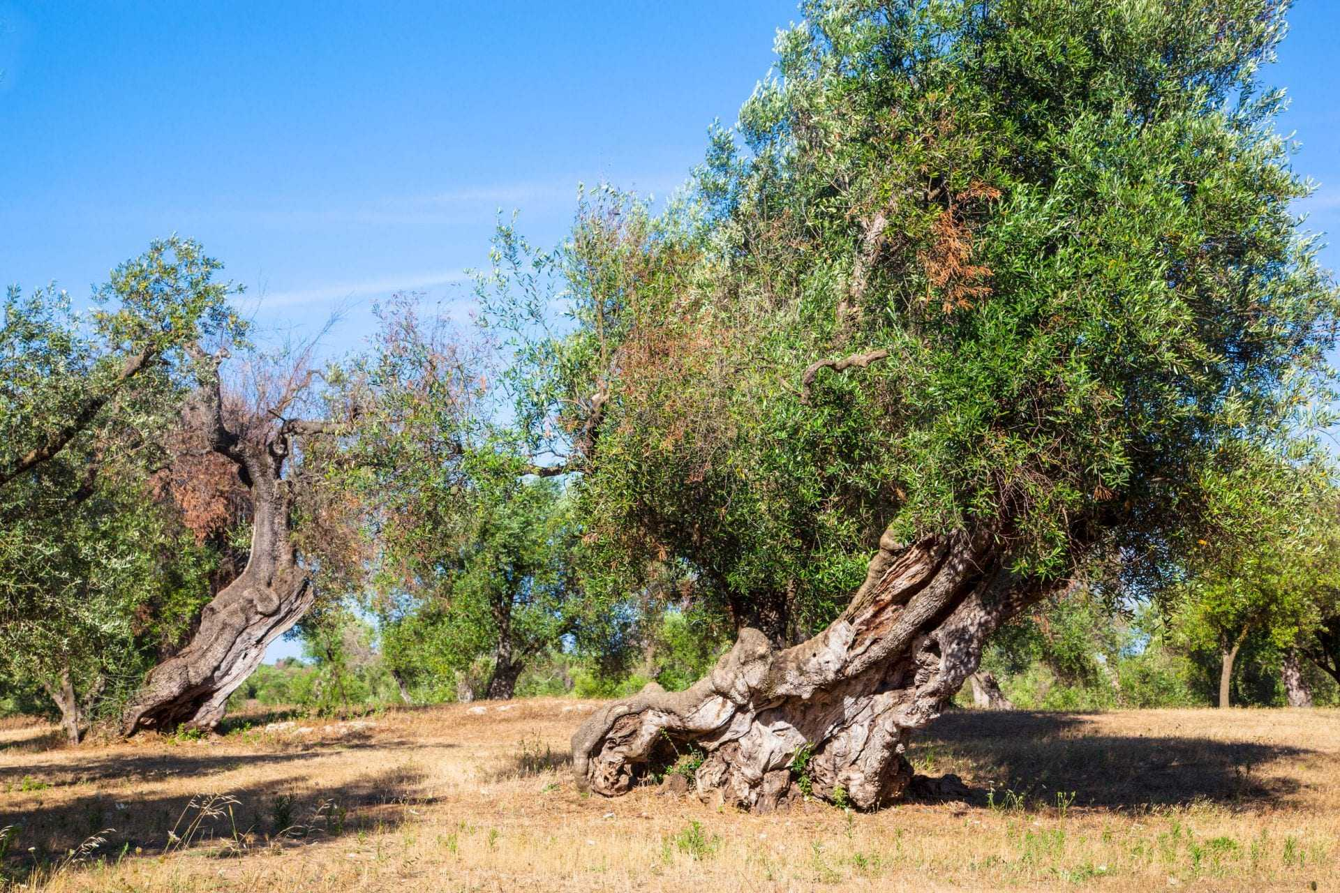 xylella-update-spread-continues-in-southern-italy-amid-calls-for-swift-action-olive-oil-times
