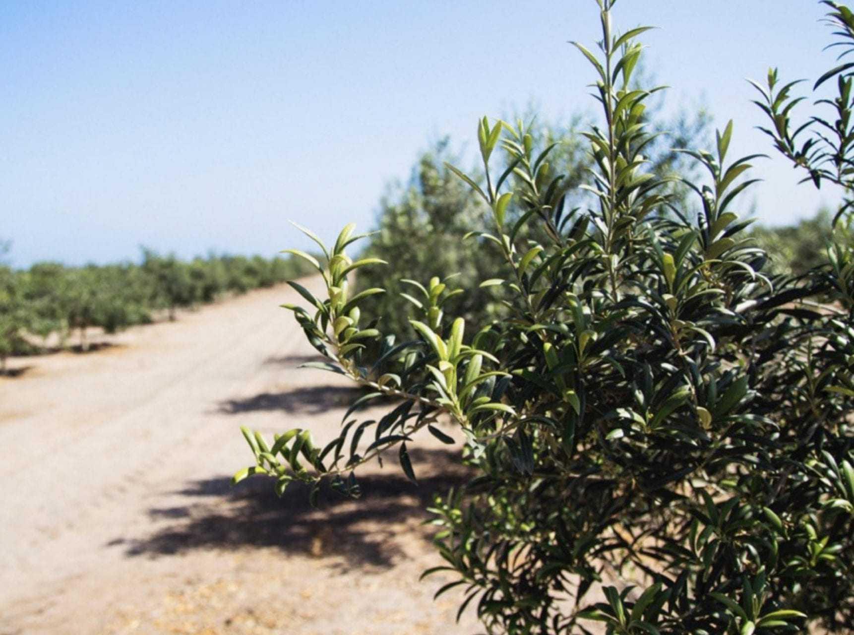 una-cosecha-de-aceituna-en-peru-en-medio-cambios-de-barrido-tiempos-de-aceite-de-oliva