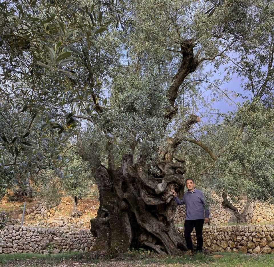 having-survived-invasion-and-disease-millenary-olive-tree-recognized-in-spain-olive-oil-times