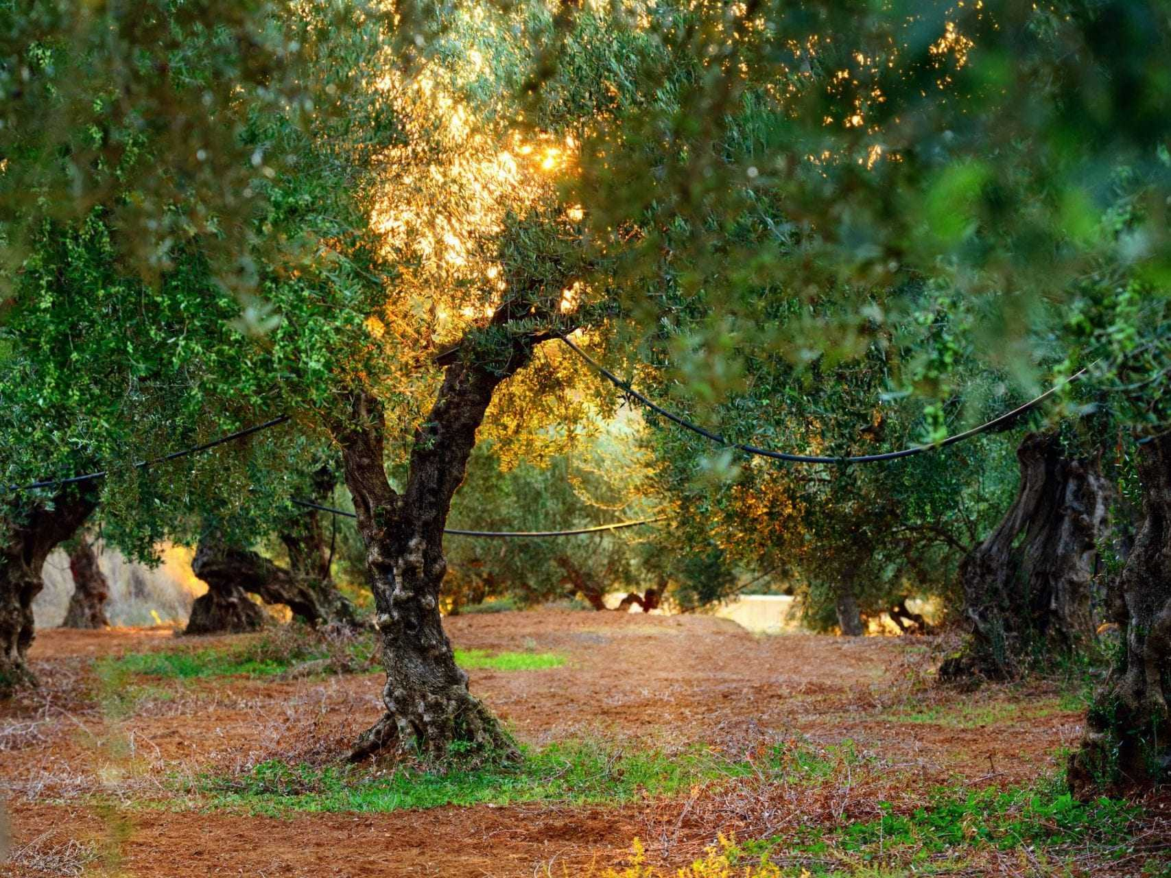 seeing-the-olive-tree-as-a-living-being-olive-oil-times
