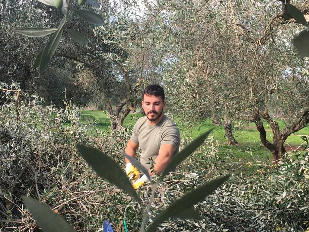 Yunanistan'da hasat olarak zeytinyağı zamanlarına yakın montaj endişeleri