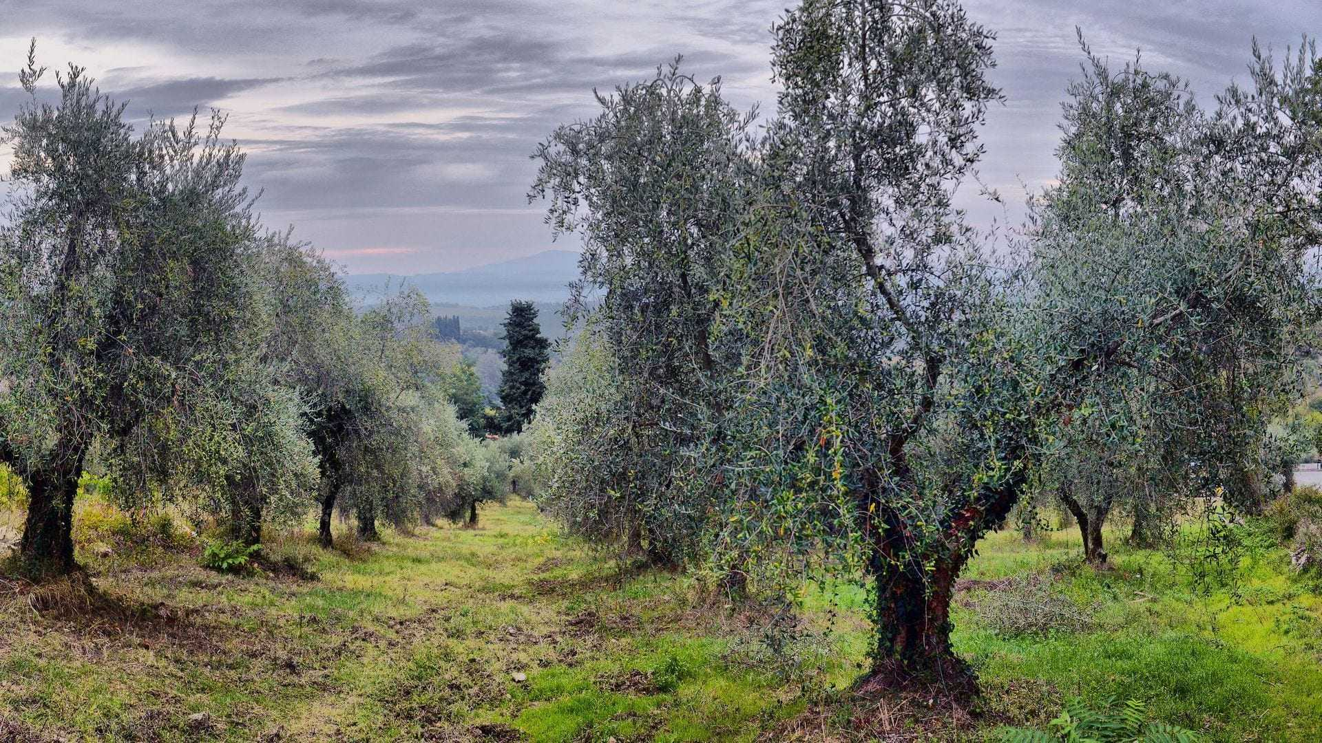 Bad Weather Ahead of Harvest Dampens Spirits of Italy's Olive Oil Producers